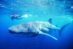 Swim with the Whale Sharks, Ningaloo Reef, Exmouth, Western Australia Whale Shark Diving, Swimming With Whale Sharks, Scuba Diving, Western Australia, Australia Travel, South Australia, Wale, Natural Wonders, Snorkeling