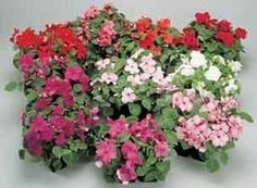 Pase Seeds - Impatiens Carnival Series Mix Annual Seeds, $3.99 (http://www.paseseeds.com/impatiens-carnival-series-mix-annual-seeds/)