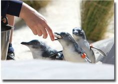 Feeding the Penguins at the Royal Melbourne Zoo Melbourne Australia compliments of http://www.flickr.com/photos/sedap/4480119244/