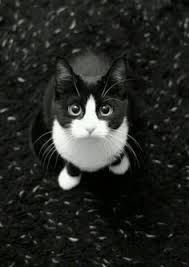 Image result for tuxedo cat pretty