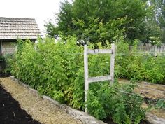 raspberry trellis | grape and raspberry trellis | Pinterest ...