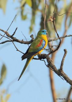 Turquoise Parrot (Neophema pulchella) adult male, perched nearby active nest