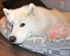 Hedgehog Dyed Pink For Fun Loves His New Dog Siblings