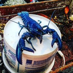 My Friend's Father Caught A Blue Lobster The Other Day. Odds Are 1 In 2 Million