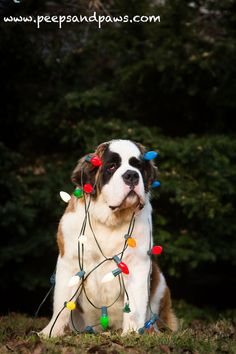 St. Bernard Holiday by Wendy Wooley, via 500px Merry Christmas Card Puppy Holiday Dogs Santa Claus Dog Puppies Xmas