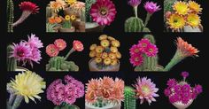 There are many exquisite succulent plants out there, but none are quite as spectacular as those belonging to the Echinopsis genus.