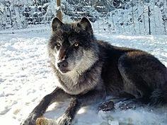 Wolfdog in the snow. Salem.