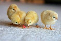 Mignons poussins orpington - http://les-poules.com