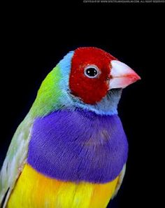 Gouldian Finch, red headed, purple chested, dilute green backed