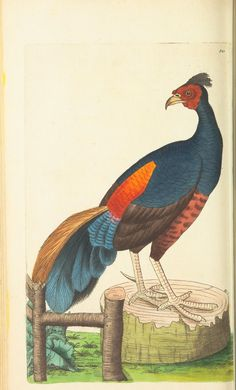v.9 - The naturalist's miscellany, or Coloured figures of natural objects - Fire-Backed Pheasant