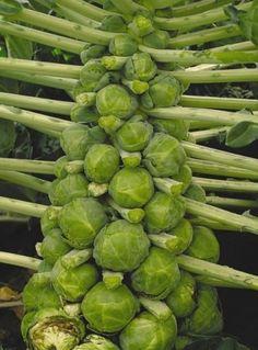 Как вырастить брюссельскую капусту - Садоводка