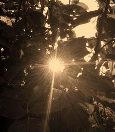 The sun through a Rose Bush
