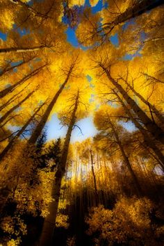 yellow Aspens in the sky