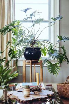 Xanadu Philodendron / Bursting With Plants, a 1910 Portland Foursquare for a Florist and Barista Green Plants, Tropical Plants, Wooden Greenhouses, Deco Nature, Decoration Plante, Office Plants, Interior Plants, Artificial Plants, Ikebana