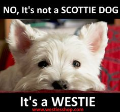 ARGHHH-I don't know why it bothers me so much when people call my Westie a Scottie..it just does! :D