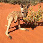 "Home of Kangaroo Dundee on Instagram: ""Australia! Watch my wonderful little joeys Rex and Ruby on Kangaroo Dundee tonight on the ABC at 8pm"""