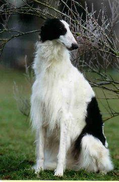 Raza: Barzoi Origen: Rusia Es un perro de aspecto alto y elegante, posee una constitución delgada. De carácter tranquilo y con aptitudes para perro de caza y también de compañía.