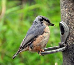 Baby Nuthatch----These little birds just look full of mischief taken in a garden in Keswick Cumbria.