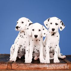 Dalmatian puppies | www.DOGvision.be | dog photography