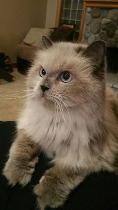 Check out Joey's profile on AllPaws.com and help him get adopted! Joey is an adorable Cat that needs a new home. https://www.allpaws.com/adopt-a-cat/himalayan/3009889?social_ref=pinterest