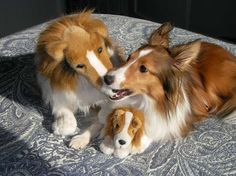I have this exact stuffed toy, the big one.  It has survived 3 Shelties and for over 30 years.  We are expecting our 4th Sheltie soon.