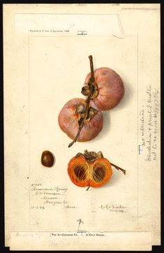 Newton, Amanda Almira, ca. 1860-1943 Scientific name: Diospyros Common name: persimmons Variety: American Honey