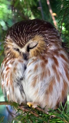 Northern Saw-Whet Owl Sleeping Peacefully by Carmen Brown