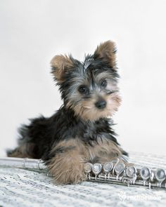 Mimi (Yorkshire Terrier) - Mimi hits the right note and strikes a chord with all she meets (pic by Rachael Hale) Cute Puppies, Cute Dogs, Dogs And Puppies, Animal Pictures, Cute Pictures, Baby Animals, Cute Animals, Little Tykes, Terrier Puppies