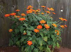 Tithonia rotundifolia in pot | by anniesannuals