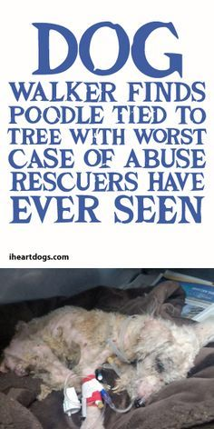 Dog Walker Finds Poodle Tied To Tree With The Worst Case Of Abuse Rescuers Have Ever Seen