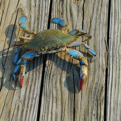 Chesapeake Bay Blue Crabs Are More Plentiful Than They've Been in 7 Years, According to Scientists - Healthy Fish Food İdeas Kraken, Crab Tattoo, Crab Art, Coral Bleaching, Mexican Street Corn, Blue Crabs, Chesapeake Bay, Creature Design, Marine Life