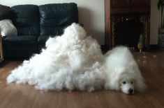 21 Pictures That Prove Samoyeds Are Perfect In Every Way