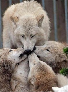 The wolf pack is unbreakable bond of love and loyalty. We could learn well from this.
