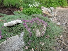 Thymus pseudolanuginosus (wooly thyme) //very low groundcover. Tolerates foot traffic and drought. Evergreen