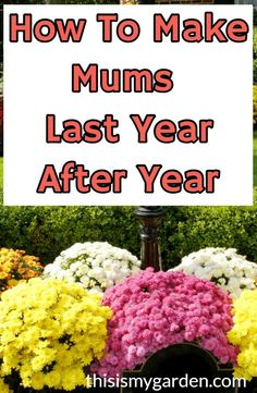 Hardy mums - Overwintering Mums how to make Hardy Mums last year after year mums landscape overwinter plants fallplants perennials thisismygarden
