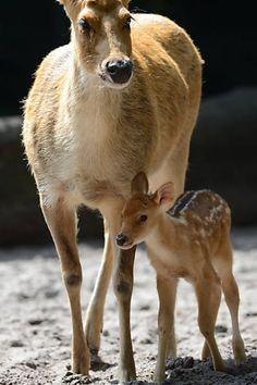 Dois barasinghas (espécie de cervos) caminham pelo zoológico de Berlim.