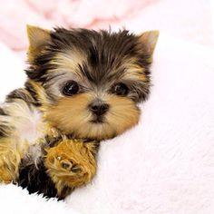Teacup Yorkie Puppy. Too Cute! I WANT ONE SOOO BAD. i saw
