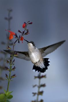 Ruby-Throated Hummingbird and Red Salvia