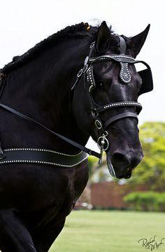Percheron what a beautiful horse by julie. Most Beautiful Animals, Beautiful Horses, Beautiful Creatures, Beautiful Eyes, Work Horses, Black Horses, Zebras, Percheron Horses, Clydesdale