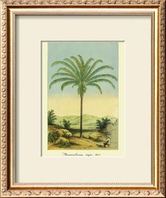 Maximiliana Palm Tree, Botanical Illustration, c.1854 Print by Ch. Lemaire at AllPosters.com