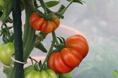 10 Tipps für eine reiche Tomaten-Ernte The harvest of ripe, juicy tomatoes is one of the higher points in the garden year, after all, they are among the tastiest and most popular vegetables. Balcony Plants, Garden Plants, Balcony Garden, Succulents Garden, Growing Tomatoes, Growing Plants, Organic Gardening, Gardening Tips, Le Baobab
