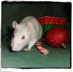 Sweet Pea, via Flickr. Christmas Rats
