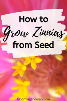 Looking for an easy flower to grow? Zinnias are beautiful flowers that keep blooming throughout the season. Learn how to grow zinnias today! Growing Zinnias From Seed, Growing Seeds, Indoor Gardening Supplies, Container Gardening, Urban Gardening, Flower Gardening, Gardening Tips, Planting Seeds Quotes, Starting Vegetable Seeds