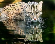 The Fishing cat (Prionailurus Viverrinus) is very much at home in the water and can swim long distances, even under water. Females have been reported to range over areas between 1.5 to 2.3sq miles, while males range over 6.2 to 8.5 sq miles.