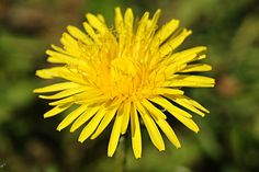 a yellow sow-thistle
