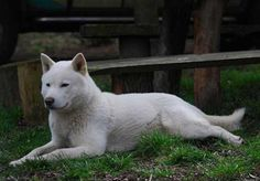 First known as the Ainu, the Hokkaido dog breed is known as a great hunter as well as loveable and loyal pet. Hokkaido Dog, Medium Sized Dogs Breeds, Animals And Pets, Cute Animals, Dog Breed Info, Dog List, Medium Dogs, Akita, Large Dogs