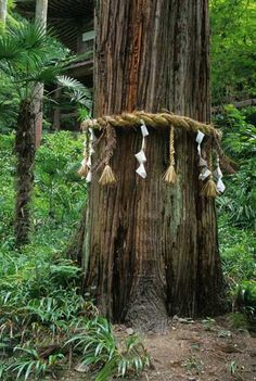 Since ancient times Japanese have been marking certain trees as sacred by a rope of straw. Why? Because these trees stand pars pro toto for all trees. All trees are sacred.   See G. Nitschke's From Shinto to Ando, Academy Editions, 1995.