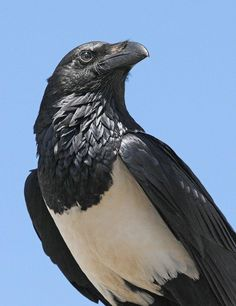 DanLogenPiedCrow by GrrlScientist, via Flickr