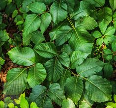 Poison Ivy Cure, Poison Oak, Poison Ivy Removal, Identify Poison Ivy, Poison Ivy Treatment, Ivy Look, Garden Web, Garden Tips, Garden Ideas
