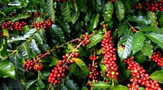 Coffee Plant : Entrepreneurs Should Take A Look At Coffee Farming